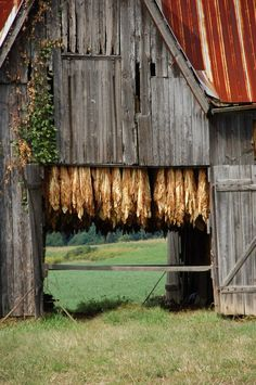 barns with adds | Passed many barns with tobacco hanging to dry ... | tobacco, handed i ...