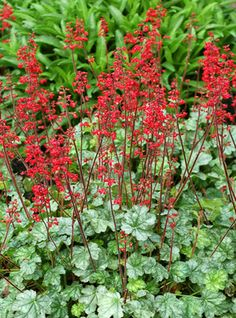 Heuchera Lipstick: Heuchera 'Lipstick' has mounds of silver-veiled green leaves, each mound with masses of flower spikes of lipstick red. These reblooming red flowers are a striking feature in the perennial border. Good in the rock garden and crevices as well.
