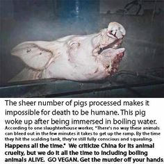 "planet manners: Slaughter of pigs - ''humane death""?"
