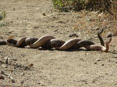 viper mating