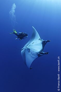 Swimming with mantas are like meeting an angel-breathtaking