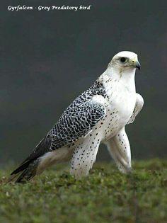 Gyrfalcon - Grey Predatory bird