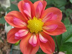 dahlias flowers - Yahoo! Search Results