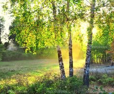 birch trees photos | Birch trees in a summer forest | Стоковое фото © Leonid ...