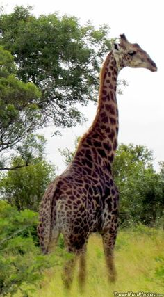 Giraffe in south africa wanna go there животные, места African Animals, African Safari, Wild Life, 4 Life, Beautiful Creatures, Animals Beautiful, Thinking Day, All Gods Creatures, Fauna