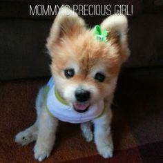 Gracie the Pomeranian