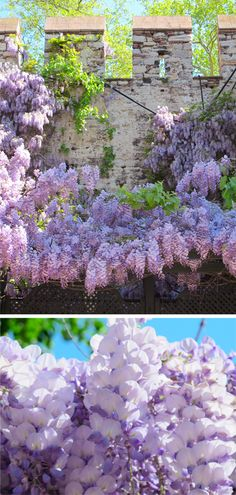 Purple flowers instanbul #YoureSuchABudaPest #OPIEuroCentrale