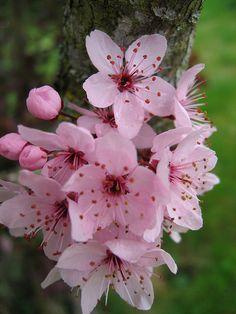 Cerisier Du Japon ( jamais allée au Japon mais déjà vu un CERISIER  duc Japon)