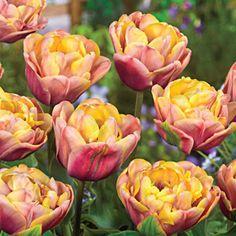 La Belle Epoque Tulip