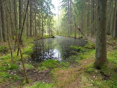A small swamp lake in the middle of the trees. Forests, Ps, Middle, Trees, Plants, Beauty, Design, Woods, Tree Structure