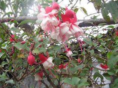 Hermosas flores de mi jardín. Silvia Cauca Colombia