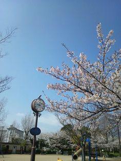 豊公園の桜。まだきれいに咲いてて、ありがとう。