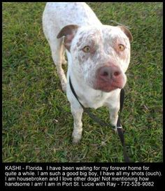 KASHI~Florida - This handsome boy is perfect for an active lifestyle. If you run, paddle and need company for the eventual couch potato moments he is your guys. He has been waiting for way too long for a home and we guarantee he will make someone or someones very, very happy! Take a look at him and because this is life or death, please share! Thank you! CALL: 772 528 9082 PLEASE ADOPT FOSTER RESCUE TRANSPORT DONATE ~ Please help save KASHI'S LIFE!