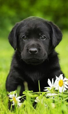 Black Labrador Finding your perfect black lab puppy isn't hard, but there are things you need to know! - Black Lab is an in-depth guide to the world's favorite black dog. Packed with black Labrador information, from black Lab origins to finding your puppy Black Lab Puppies, Cute Dogs And Puppies, Black Labs Dogs, Doggies, Black Puppy, Black Labrador Retriever, Retriever Puppies, Labrador Puppies, Corgi Puppies