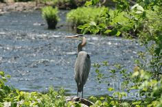 Blue Heron River Fishing: This photo of a Great Blue Heron was taken beside the Quinnebaug River in Putnam Connecticut in June 2012.