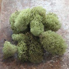 Reindeer Moss - Green