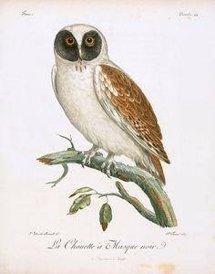 Oiseaux dAfrique 1799 Black-faced Owl Canvas Art - Jean-Lebrecht Reinhold x Science Illustration, Nature Illustration, Nature Prints, Bird Prints, Owl Artwork, Owl Canvas, Canvas Art, Vintage Birds, Botanical Art
