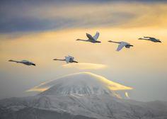 Photo Swans and Damavand peak by Hadi Mohsentabar on 500px