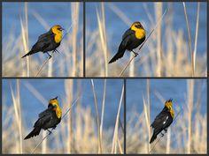 Yellow-headed Blackbird enjoys a midge dinner. USFWS Bear River Migratory Bird Refuge, Utah. Photo: Jennifer Bunker