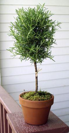 Love a rosemary topiary
