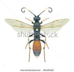 Wasp Ichneumon suspiciosus (female) on a white background - stock photo