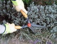 Lavender: pruning, cuttings, planting distance, species, use and tourism – Knippen Lavender Pruning, Plant Cuttings, Permaculture, Garden Inspiration, Garden Plants, Bonsai, Gardening Tips, Planting Flowers, Garden Tools
