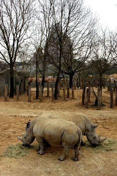 Wami et Angus, les deux rhinocéros pesant chacun 1,5 tonne, aiment commencer tendrement leur journée par des petites caresses.