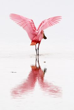 Roseate Spoonbill, Ding Darling National Wildlife Refuge, Sanibel Island, Florida, by Sean Crane