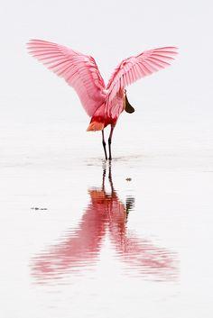 Roseate Spoonbill, Ding Darling National Wildlife Refuge, Sanibel Island, Florida, by Sean Crane
