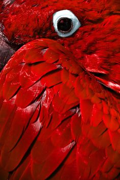 EYE can see you! We love the colour of this parrot. Red Feather, Bird Feathers, Color Explosion, Or Rouge, I See Red, Simply Red, Red Aesthetic, Red Fashion, Shades Of Red