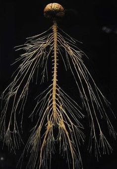 A plastinated specimen of a human central and peripheral nervous system at the Body Worlds exhibit. Image credit: Cyrus McCrimmon, The Denver Post