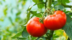 The 12 Important Facts to Know Before You Grow Tomatoes