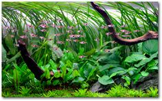 """Look at all the rasboras!  Setting up a """"higher"""" tech planted tank 