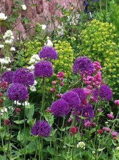 Allium 'Purple Sensation'. Euphorbia and valerian