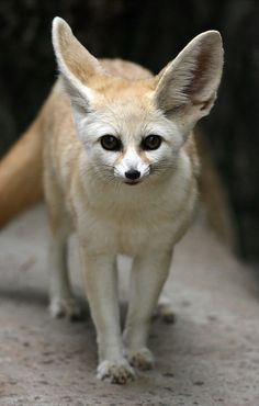 Fennec Fox - our little guy Todd looks just like this.  He is the most adorable animal.