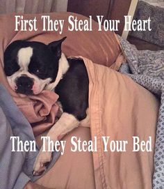 That's why I am so happy my Boston terrier is so small. She isn't big enough to be a bed hog!