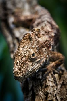 Western Bearded Anole by William T Hornaday