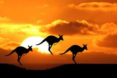pictures of kangaroos - Google Search