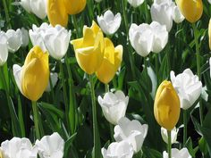 Tulips, Araluen, Western Australia