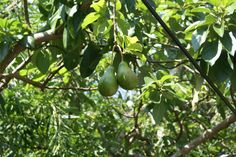 When I was little, my grandparents had two avocado trees that were so fun to climb....I want to grow one some day.
