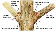 What is a branch collar and how to prune