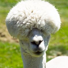 If there was a prize for the stylish animal species in the world there's no doubt alpacas would be the winners. Alpacas, Animals And Pets, Baby Animals, Funny Animals, Cute Animals, Llama Face, Rock Album Covers, Baby Llama, Pandas