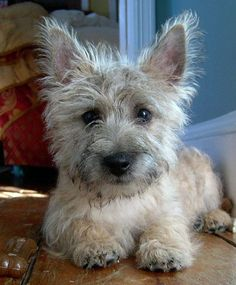 Cairn Terrier- I have two of them. They are precious!