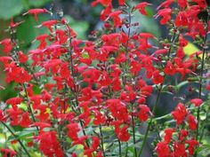 (Common Name:  Scarlet Sage, Botanical Name:  salvia coccinea). This will self seed and I transplant babies.  Mine have had morning sun, afternoon shade.  Hummingbirds fight over it.