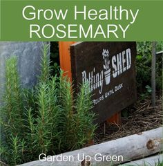 Learn to Grow Healthy Rosemary and discover the Health benefits.