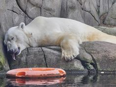 im Tierpark Hagenbeck Polar Bear, Animals, Holiday Photos, Animales, Animaux, Animal, Animais