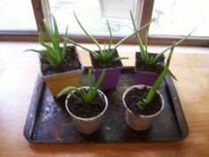 Tips on growing and dividing aloe plants