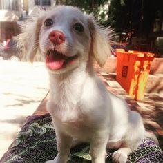Mamãe tá cheio de pombo aqui... Posso ir pro chão? Juro que vou me comportar! #feliz #happy #caopanheiro #viralata #cachorro #dog #instapet #riodejaneiro #brasil #brazil #pet #puppy #filhote #picoftheday #photooftheday #instalike #adote #adotarétudodebom #021 #errejota #happy #love #amor #zeedog by lunaazzi
