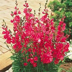 "Brilliant miniature Hollyhock: Enjoy the charm of old-fashioned hollyhocks without the staking! Vibrant reddish-purple blooms make splashy accents in borders and in floral arrangements. Grows fast to give you plenty of glowing colour all summer. Good butterfly perch! Sidalcea     Zones: 3-9   Size: #1 Plants  Height: 30""  Light: Sun to Part Shade   Bloom Time: Summer  Deer Resistant"