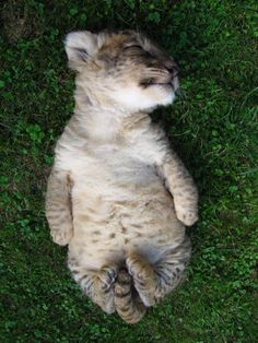 Lion cub belly
